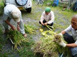 弥生植物の収集・標本準備作業