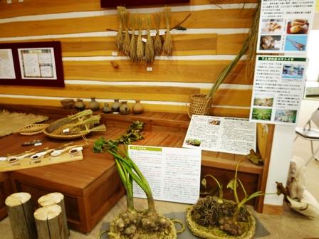 サトイモの展示